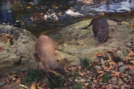 2 river otters 900 1485
