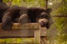 black bear 900 big cat org 2105