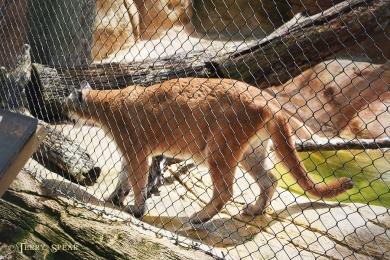 Cougar pacing 900 609