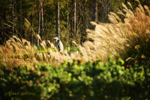 great blue heron 900Thanksgiving walk 038