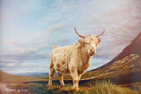 highland cow Scotland 900 7350
