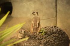 meerkat Fort Worth Zoo 900 264