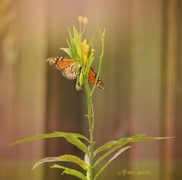 Monarch butterflies and caterpillars 900 with sun lighter 028