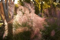 pink fountain grass sunlight 900 490