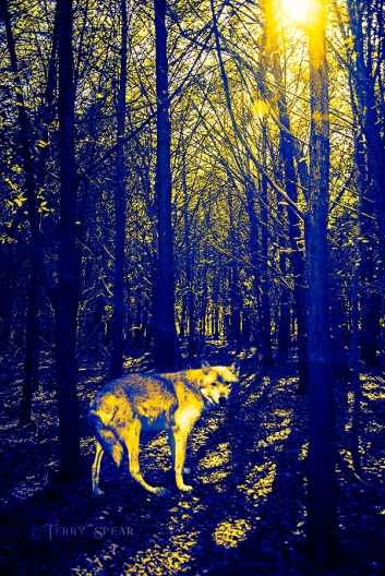 sun shining through the forest 900 wolf blue and yellow sunnier woods 202