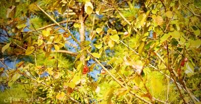 unusual tree with orange fruit Thanksgiving walk 900 018