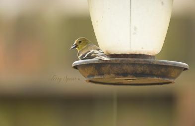 goldfinch 1000 004