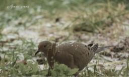 mourning dove 1000 freezing rain 6080