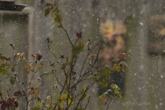 roses and snow 1000 6106