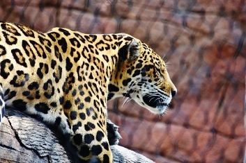 jaguar sleeping (640x427)