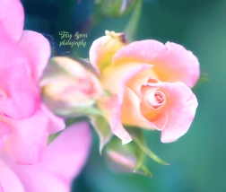 macro peach rose pastel 900 048