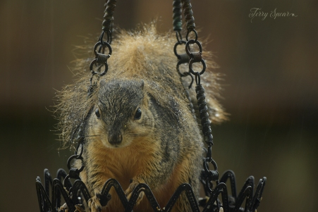 wet squirrel watching me in rain 1000 071