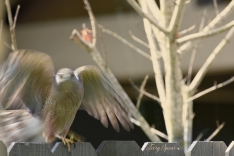 bluured cooper hawk wings outstretched 1000 063