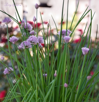 chives flowers in front of roses 1000 013
