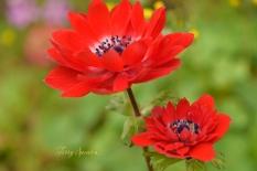 macro ranunculus 1000 flowers 019