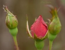 macro red rosebud 1000 042
