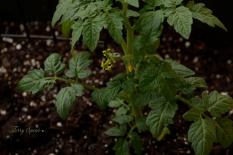 macro tomato flowers 1000 046