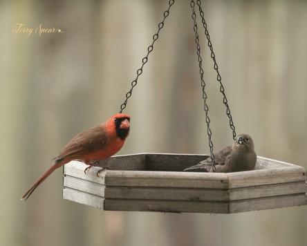 male cardinal and sparrow 1000 124