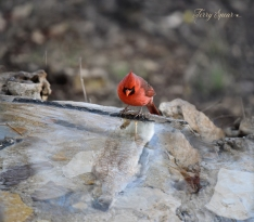 male cardinal looking at reflection in water hawk reflection2 900 597