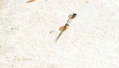 mating dragonflies 1000 012
