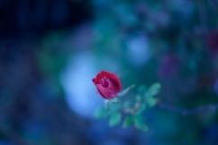 red rose blue background1 1000 015