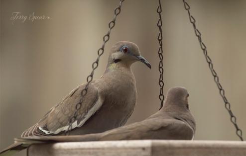 white winged doves 1000 013