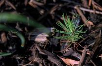 baby pine tree 1000 rainbow on water drop 009-Edit