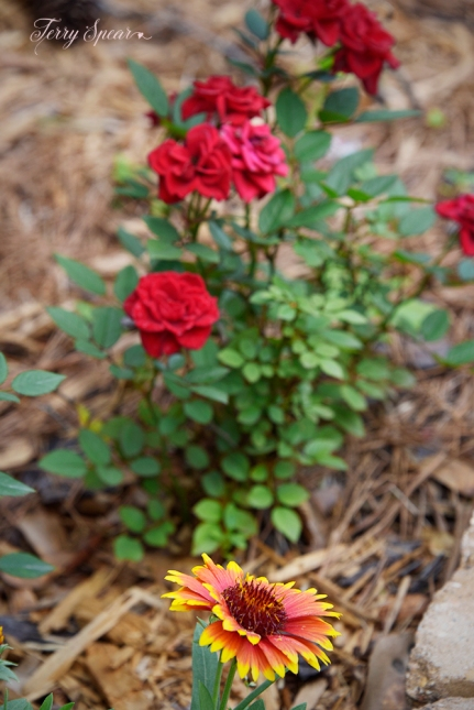 blanket flower and miniature roses 1000 006