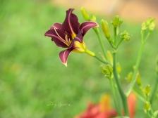 tall burgundy daffodil 1000 023